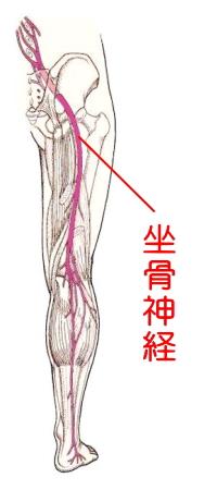 「坐骨神経」の画像検索結果